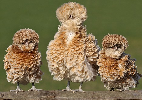"EASTER PIC.-""POLISH FRIZZLE"" HENS"
