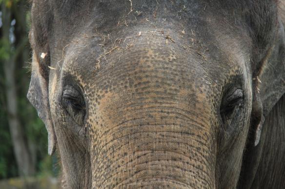 Elephant Auckland Zoo