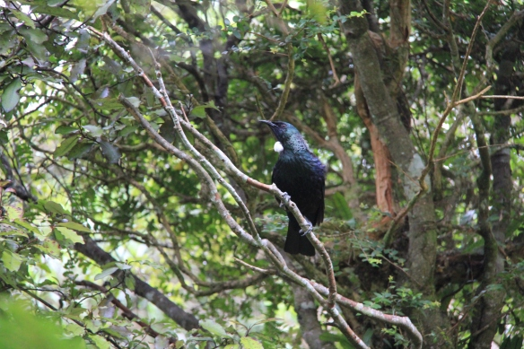 Tui at Orokonui Ecosanctuary, Dunedin NZ
